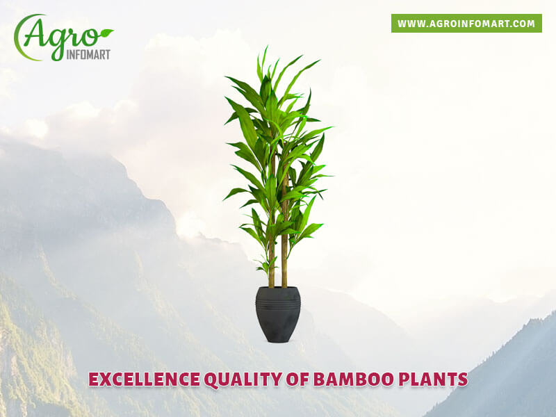Bamboo Plants Manufacturers Suppliers Dealers Amp Exporters