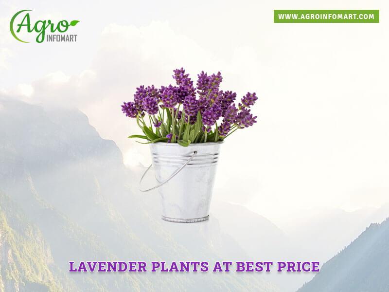 Lavender Plants Manufacturers Suppliers Wholesalers