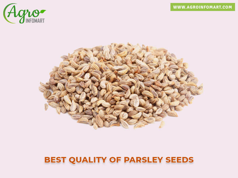 Parsley Seeds Exporters Suppliers Wholesalers