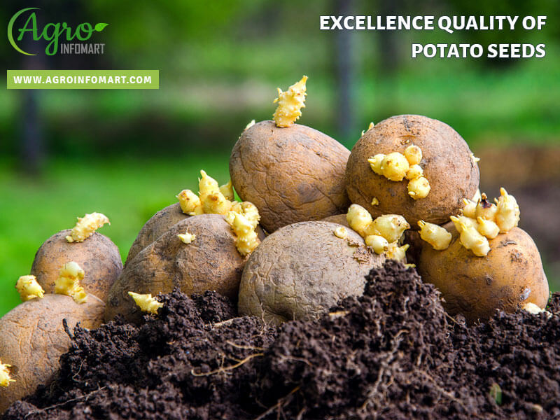 Potato Seeds Manufacturers Exporters Suppliers Amp Retailers