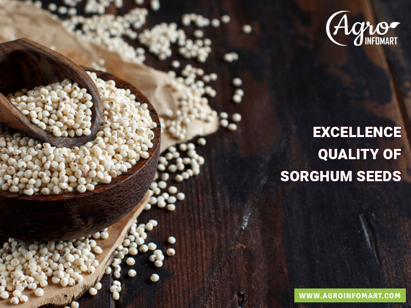 Sorghum Seeds Manufacturers Suppliers Wholesalers
